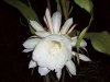 Medicinal Uses of Brahma Kamal You Need To Know