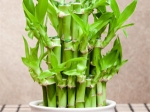 Grow Care Bamboo Plants