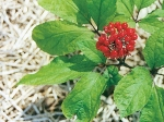 Eight Steps To Grow Medicinal Ginseng Root