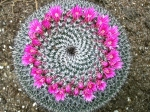 Round Flowering Cactus Home Plants