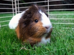 Pet Care For Guinea Pigs
