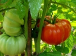 Tips To Plant Tomatoes In Your Garden