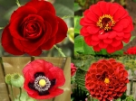 5 Red Blossoms For Your Garden
