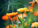 Health Benefits Of Calendula Pot Marigold: Preventing Cancer, Healing Ulcers And More...