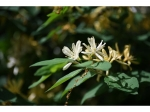 6 Science-backed Health Benefits Of Honeysuckle, Uses And Side Effects