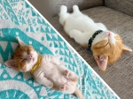Chata, The Cute Munchkin Kitten With The Cutest Sleeping Poses!