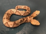 A Venomous Two-headed Copperhead Snake Was Found In Virginia; Pictures Go Viral!