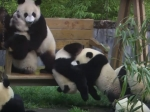 Cuteness Alert:  Adorable Pandas Doing Funny Activities Will Make You Fall In Love With Them