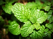 10 Unusual Health Benefits Of Peppermint Leaves (Pudina) You Might Not Be Aware Of