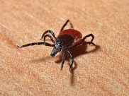 Tick Bites In Children: How To Identify And What To Do