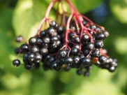 Is Consuming Elderberry Safe For Pregnant Women?