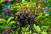 11 Lesser Known Health Benefits of Elderberry And How To Consume It