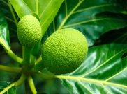 Breadfruit: 13 Potent Health Benefits, Nutritional Facts And How To Consume