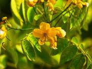 Senna: Health Benefits, Side Effects & Dosage