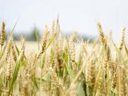 Rye: 9 Amazing Health Benefits & Ways To Eat It