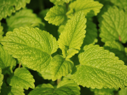 From Treating Insomnia To Preventing Cancer, Lemon Balm Has Fantastic Health Benefits