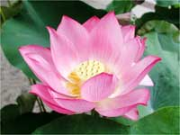 The Significance Of Lotus In Hinduism Boldskycom