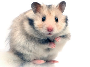 Hamsters As Pets - Tips On Hamster Care