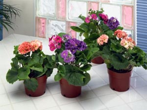 Apartment Garden Top 4 Indoor Flower Plants