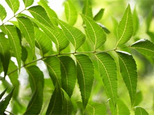 Neem Juice Health Benefits:Drinking Tips