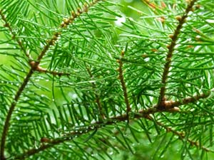Maintaining Christmas Tree Fresh & Green