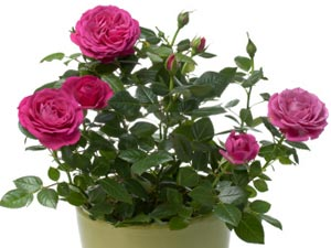 Grow & Maintain Rose Plants Indoors!