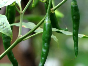 How To Grow Hot Chillies In Your Garden?
