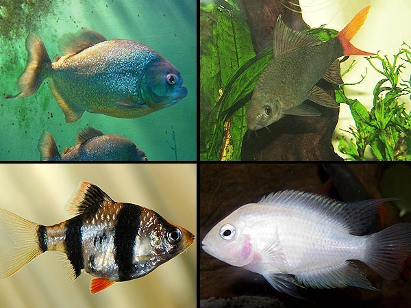 7 most aggressive fish for your tank for Non aggressive freshwater fish