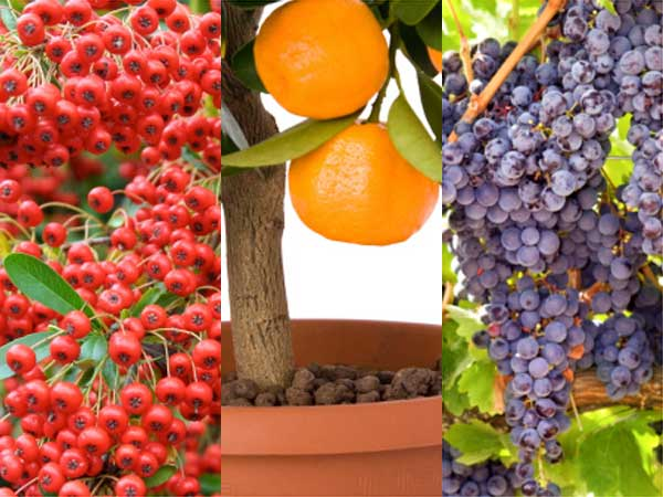 Fruits Trees To Grow At Home