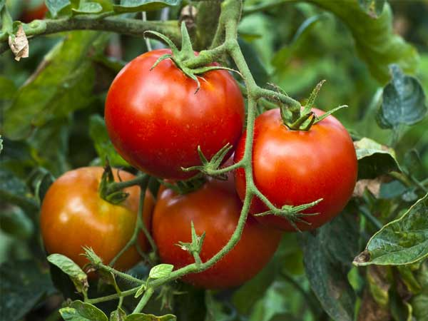 Grow Tomato Plant From Seeds