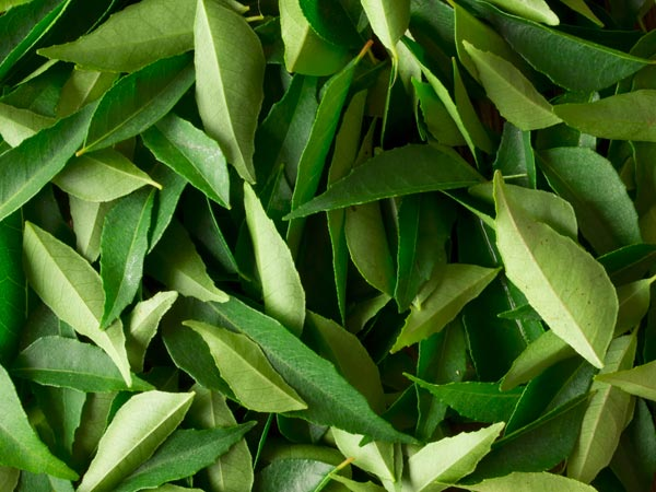 Lose Weight With Curry Leaves