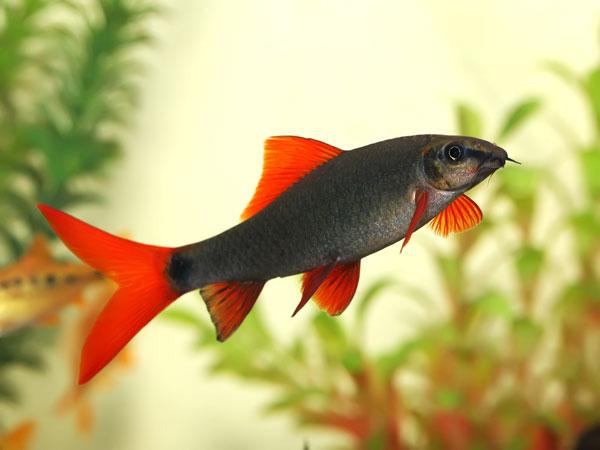 Best fish for your office desk - Poisson shark aquarium ...