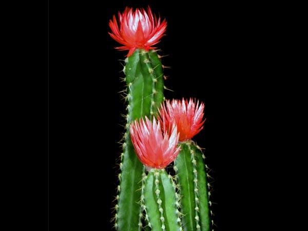 10 Types Of Cactus To Grow At Home Boldsky Com