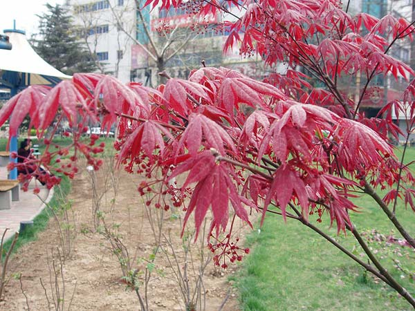 garden plants with red leaves  boldsky, Natural flower
