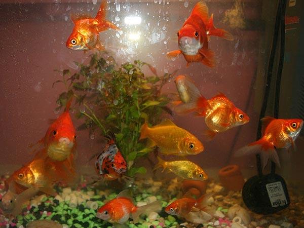 Types of goldfish for your aquarium for Goldfish pond care