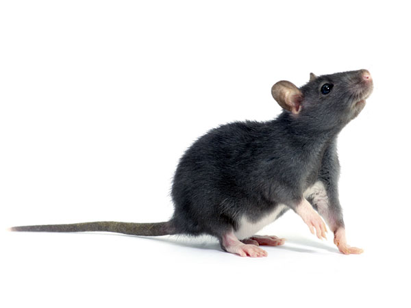 Howto Care For Rodents
