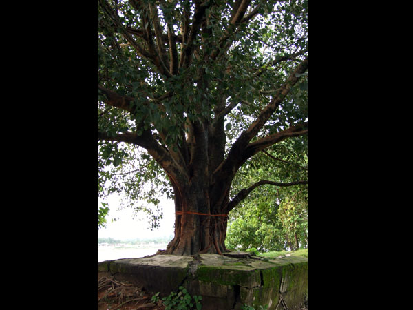 Significance Of Sacred Trees In India Boldsky Com
