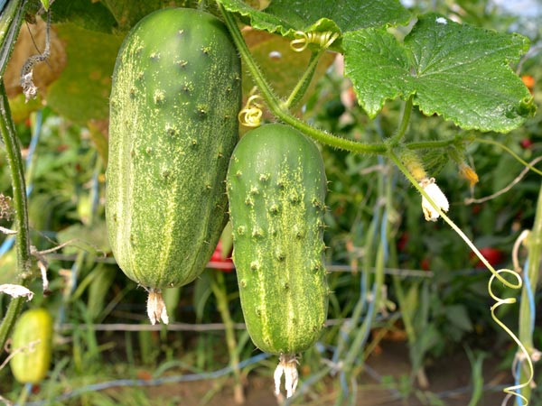 gardening tips to grow cucumber plants