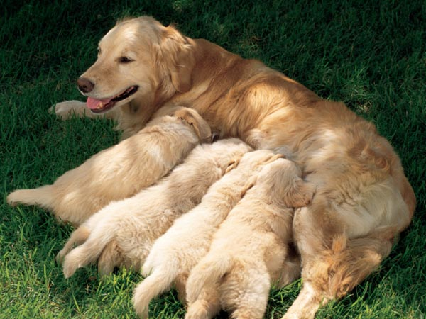 Simple Golden Retriever Chubby Adorable Dog - 03-puppiesgoldenretreiver  Pic_683118  .jpg