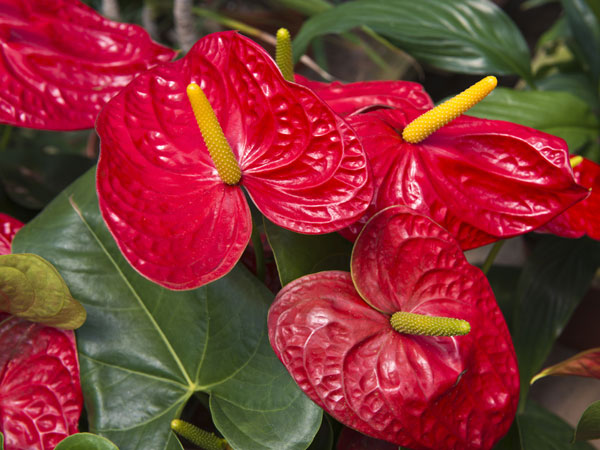 Easy to grow indoor plants for Anthurium rosa