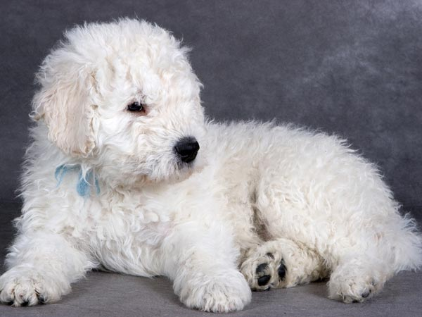Furry Dog Breeds Your Kids Will Love - Boldsky