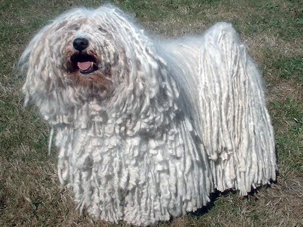Poodles Only Dog Breed To Have Hair Not Fur