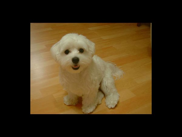 Maltese Puppies Is A Small Dog Breed