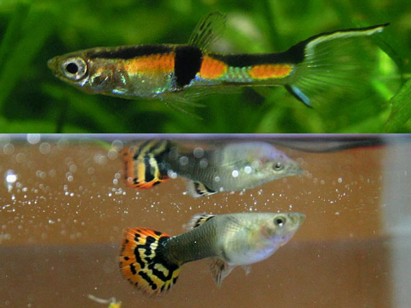 Guppy fish care tips made easy for Good freshwater fish