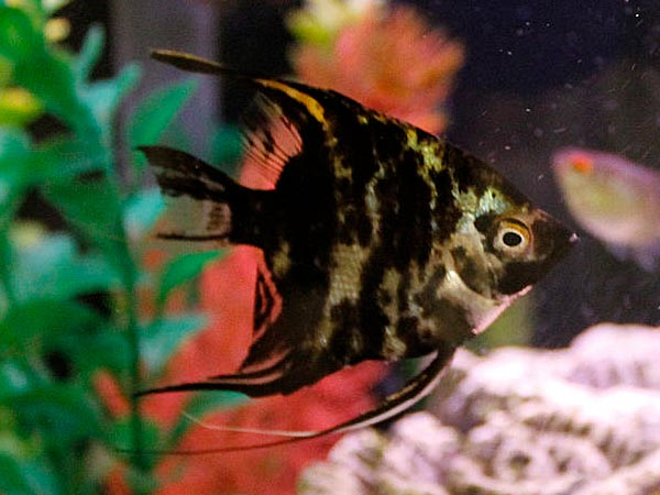Non Aggressive Aquarium Fish For Fish Lovers! - Boldsky.com