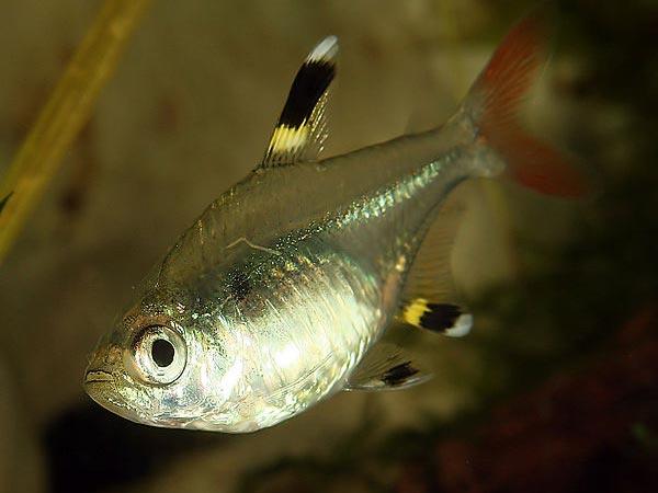 Non Fish Aquarium : Non Aggressive Aquarium Fish For Fish Lovers! - Boldsky.com