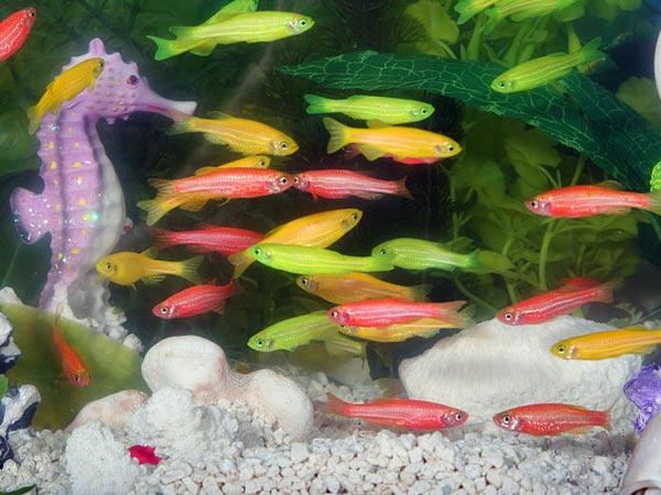 Non Aggressive Aquarium Fish For Fish Lovers! - Boldsky