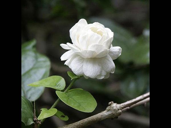 Popular indian pooja flowers boldsky array mightylinksfo