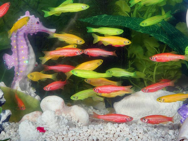 all types of aquarium fish are not lucky. Only certain types of fish ...