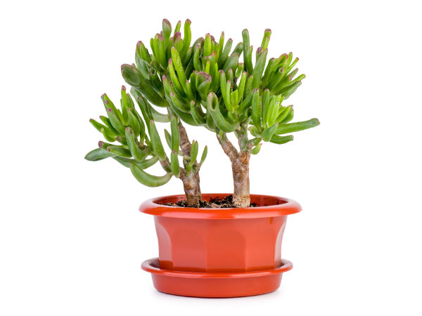 Lucky Plants For Your Office Desk  Boldskycom